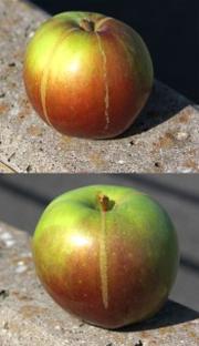 Äpplen_med_slipsar[Lars-Olof Börjesson - Äppelriket]